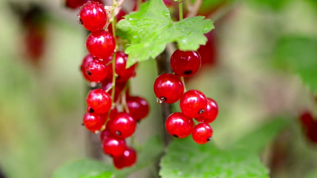 Red currant video