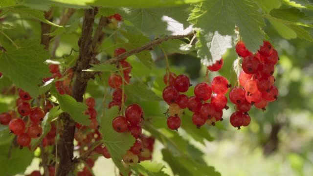 red currants berry grow in the garden. harvest of seasonal summer berries - ribes rosso video stock e b–roll