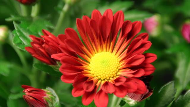 Red daisy blooming - American Chrysanthemum