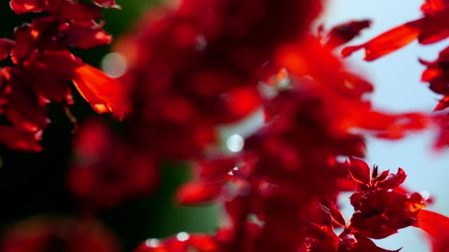 red decorative flowers quietly swing in the wind. morning sunlight illuminates the beautiful flower buds. summer romantic sunrise in the garden. - rack focus video stock e b–roll