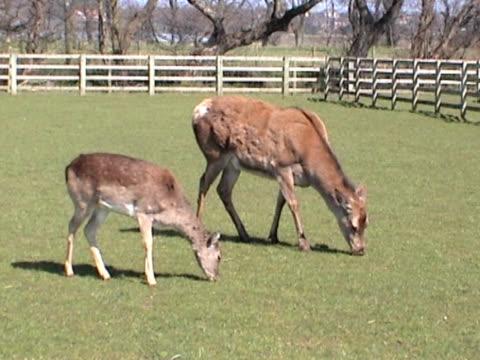 red deer i łydki paść się w fenced ogrodzenie - jelonek filmów i materiałów b-roll