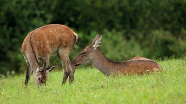 red deer, cervus elaphus, hind and fawn grazing on a meadow. - jelonek filmów i materiałów b-roll