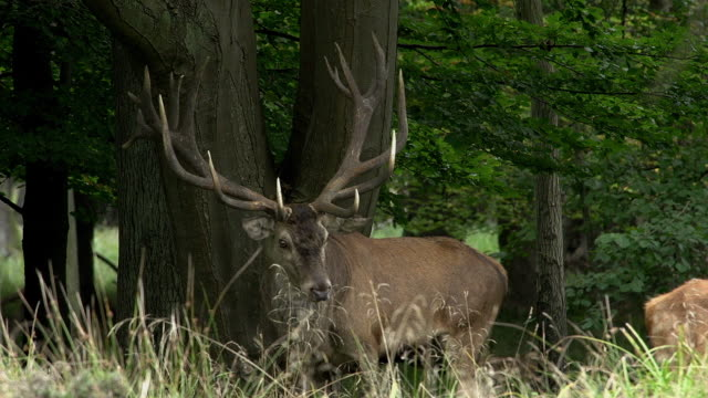 red deer, cervus elaphus, stag during the rutting season, sweden, real time - poroże filmów i materiałów b-roll