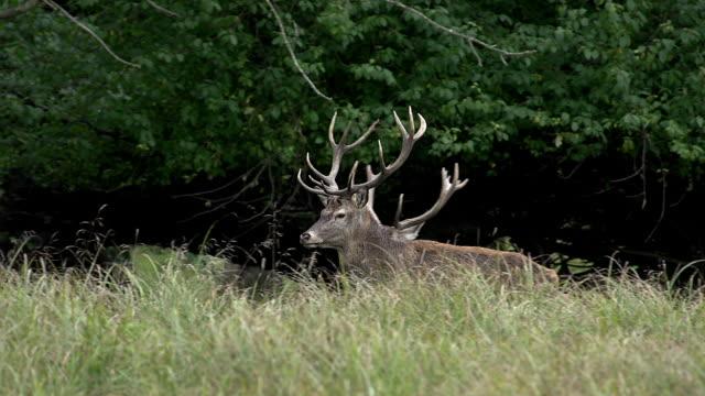 red deer, cervus elaphus, stags standing in wood, sweden, real time - poroże filmów i materiałów b-roll
