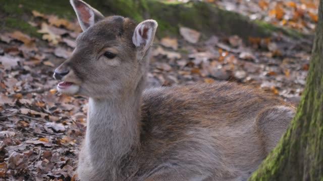red deer close up - jelonek filmów i materiałów b-roll