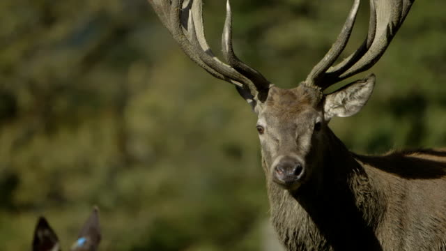 Red Deer (Hart) close-up / slow motion video