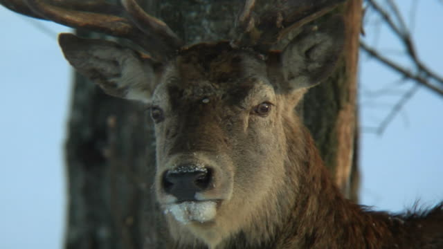 red deer primo piano - mammifero video stock e b–roll