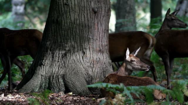 HD video red deer hinds Cervus elaphus with stag roaring video