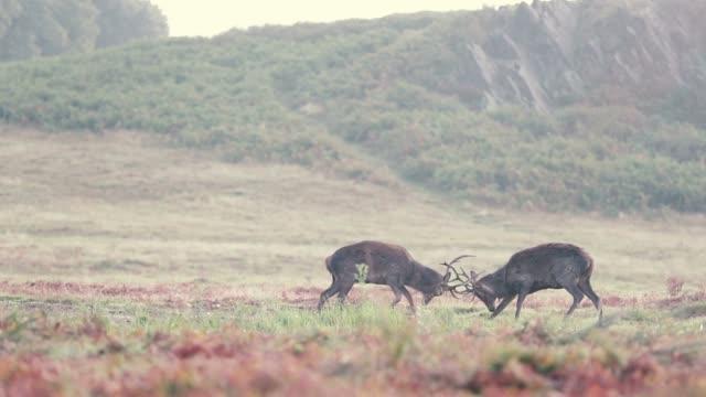 red deer fight - lottare video stock e b–roll