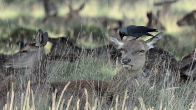 красный олень (cervus elaphus) стадо с галка - уход за поверхностью тела у животных стоковые видео и кадры b-roll