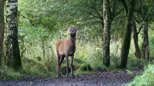 red deer in forest - poroże filmów i materiałów b-roll