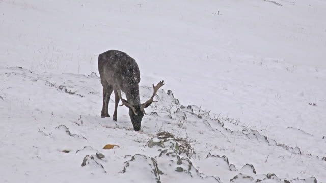 red deer in winter snow grazing and looking around, close up, uhd stock video video