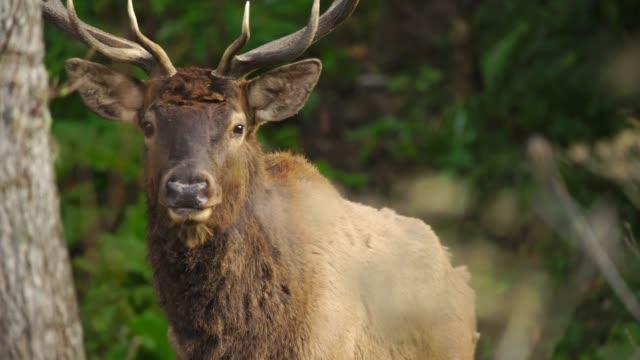 red deer in woodland - jeleniowate filmów i materiałów b-roll