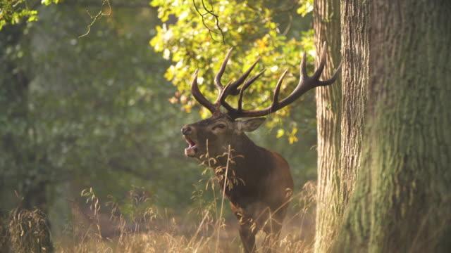 red deer mating season - poroże filmów i materiałów b-roll