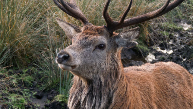 Red deer stag in the countryside of Dumfries and Galloway A Red deer stag in the countryside of Dumfries and Galloway, Scotland. galloway scotland stock videos & royalty-free footage