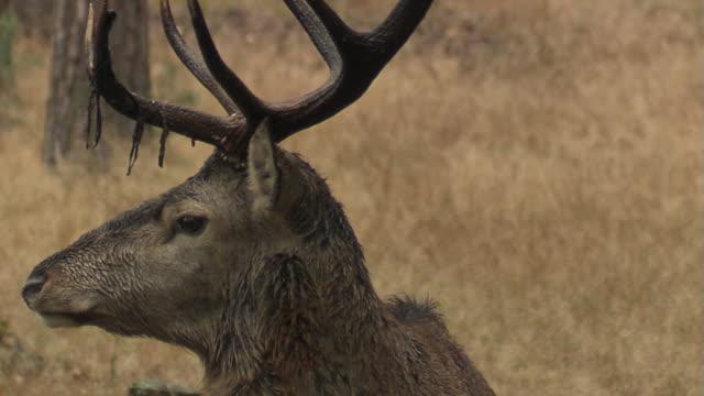 red deer - poroże filmów i materiałów b-roll