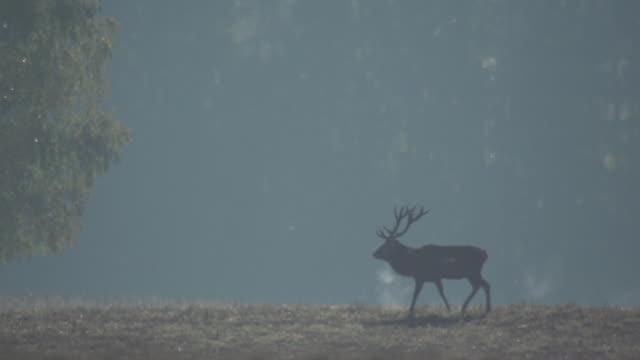 red deer - jeleniowate filmów i materiałów b-roll