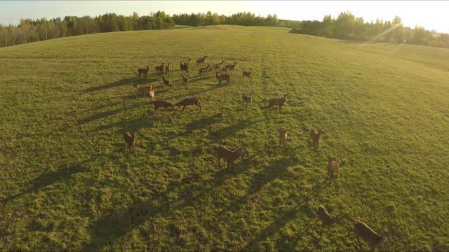 cervo - fauna selvatica video stock e b–roll
