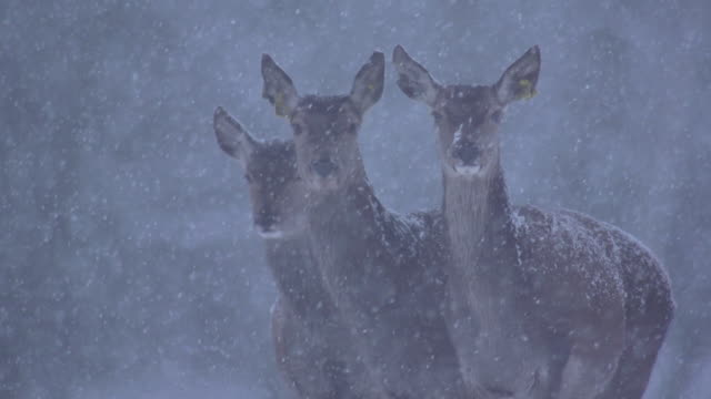 red deer - weißrussland stock-videos und b-roll-filmmaterial