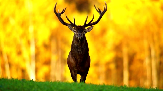 red deer - hunting stock videos and b-roll footage
