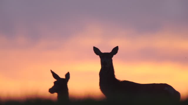 red deers and sunset - jeleniowate filmów i materiałów b-roll