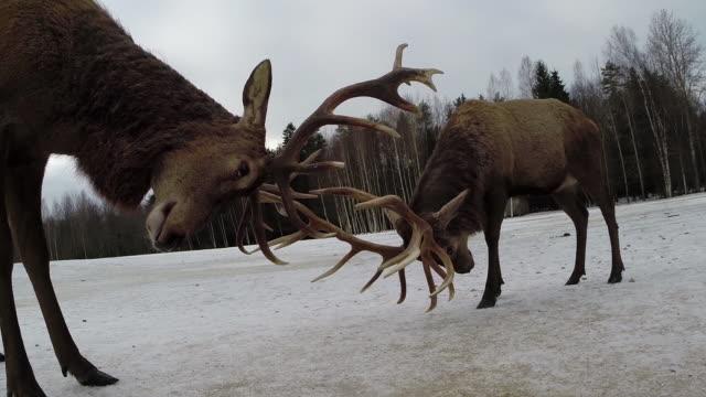 red deers and winter - jeleniowate filmów i materiałów b-roll