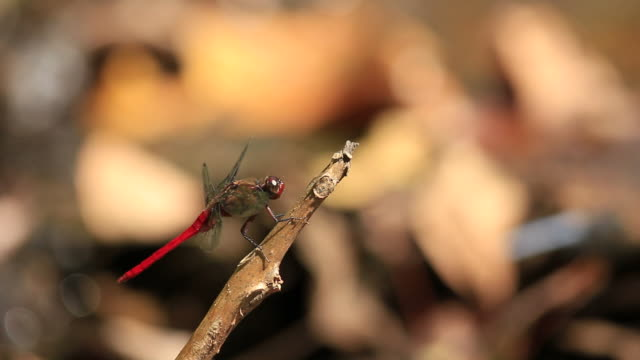 Red dragonfly in action video
