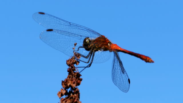 red dragonfly on a branch on blue sky background - libellulidae video stock e b–roll