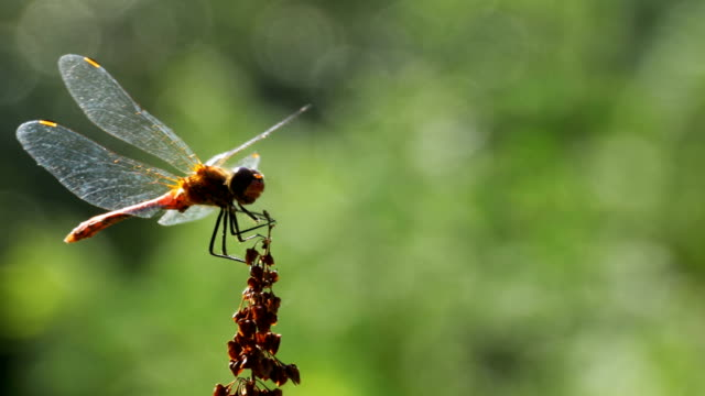 red dragonfly on a branch on green plants background - libellulidae video stock e b–roll