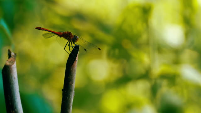 Red Dragonfly on a Branch video