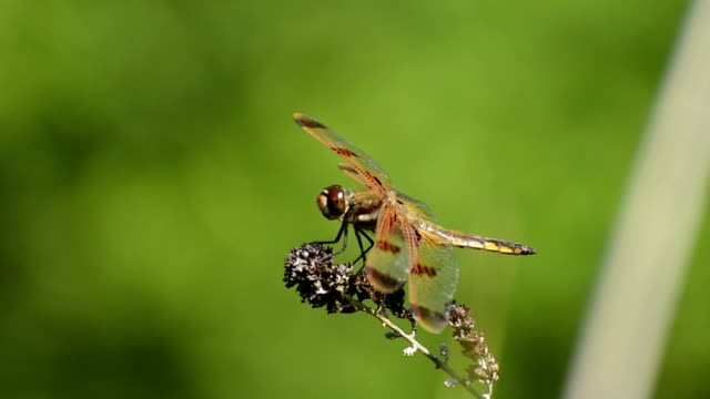 Red Dragonfly on grass video