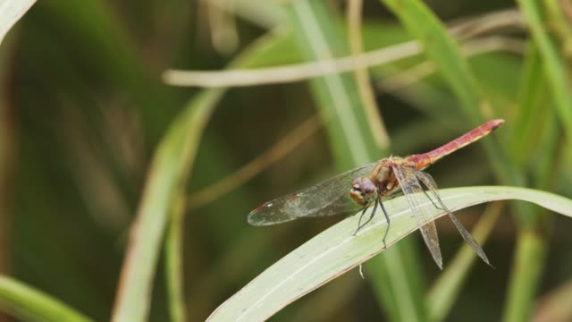 red dragonfly - libellulidae video stock e b–roll