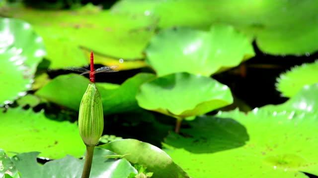 stockvideo's en b-roll-footage met red dragonfly - arthropod