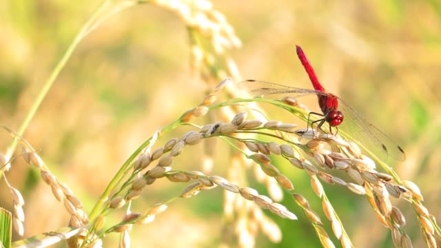 Red Dragonfly,Autumn,ear of Rice Akita,Japan jp201806 stock videos & royalty-free footage