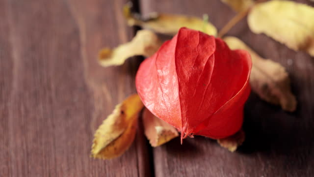 Red dry physalis flower