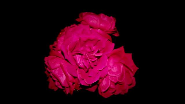 vídeos de stock, filmes e b-roll de morrer rosas vermelhas - morte