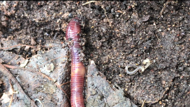Red earthworm