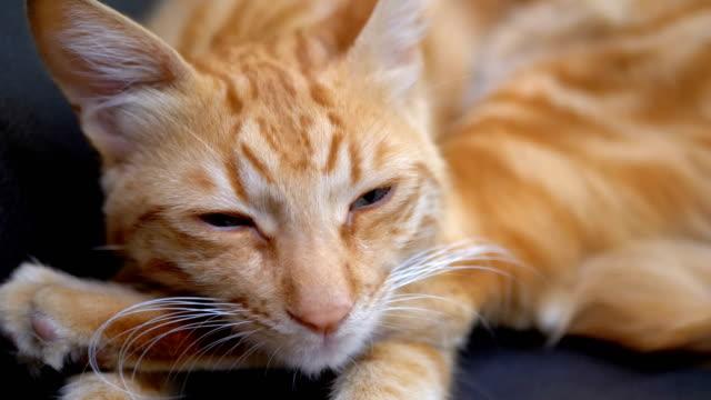 赤いエジプトの猫は椅子に横たわって、カメラをまっすぐに見ていた。スローモーション - ふわふわ点の映像素材/bロール