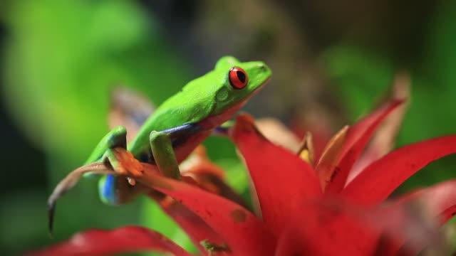 Red Eye Tree Frog Series of macro footage of red eye tree frog and other small pets frog stock videos & royalty-free footage