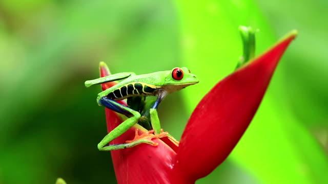 röda ögon lövgroda hoppning - regnskog bildbanksvideor och videomaterial från bakom kulisserna