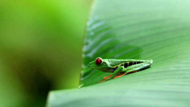 Red Eyed Tree Frog Red Eyed Tree Frog peeping on green leave frog stock videos & royalty-free footage