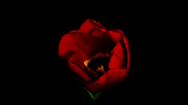 stockvideo's en b-roll-footage met rode bloem zwarte achtergrond - fresh start yellow