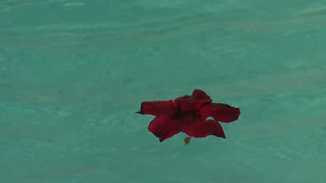 Red flower Floating On Water video