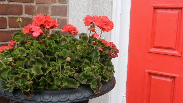 Red flowers and door. Red chrysanthemums in a planter next to a red door. Slight breeze. flower pot stock videos & royalty-free footage