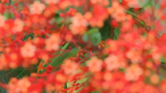 red flowers blur to focus video