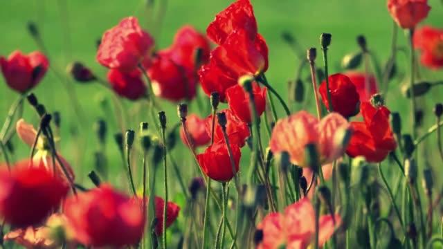 vídeos de stock e filmes b-roll de red flowers in park - mosaicos flores