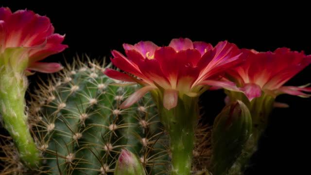 Red Flowers Lobivia Time-lapse