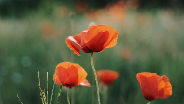 Red flowers of poppies on a green meadow slow motion wind winds in light of sun's rays at sunset. Flowers of poppies at sunset. Meadow flower pattern.