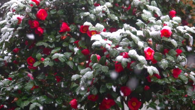 röda blommor under snön i snöfall - blomsterarrangemang bildbanksvideor och videomaterial från bakom kulisserna