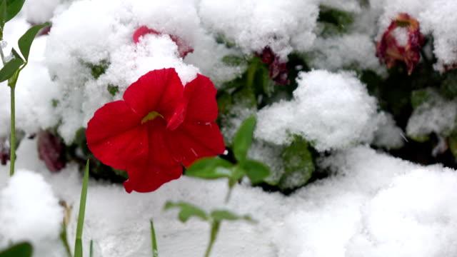 rote blumen mit schnee 2 - laub winter stock-videos und b-roll-filmmaterial